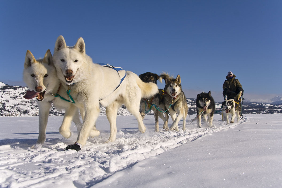 Muktuk Adventures Dog Sledding Adventures Yukon